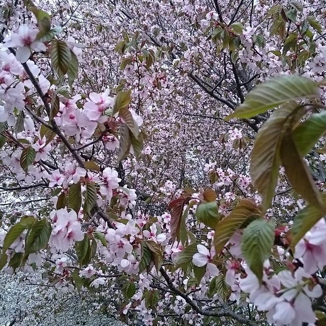 近隣の桜名所?